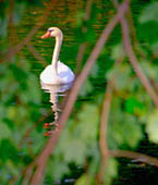 Little Swan—Through the Tree Leaves by Dave P. Ohmer