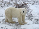 Polar Bear in Churchill by Marcia Goldstein