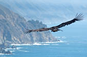 California Condor by Doug Croft