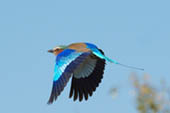 Violet Breasted Roller in Flight by Doug Croft